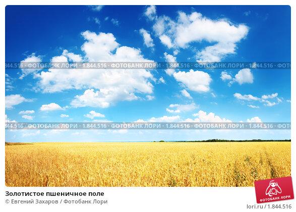 Золотистое пшеничное поле, фото № 1844516, снято 27 июня 2010 г. (c) Евгений Захаров / Фотобанк Лори