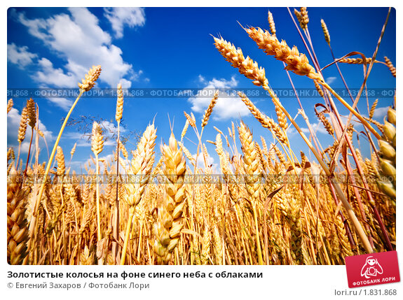 Купить «Золотистые колосья на фоне синего неба с облаками», фото № 1831868, снято 27 июня 2010 г. (c) Евгений Захаров / Фотобанк Лори
