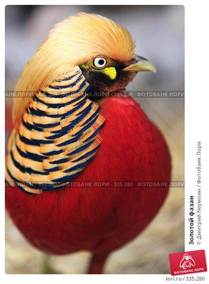 Купить «Золотой фазан», эксклюзивное фото № 335280, снято 28 апреля 2008 г. (c) Дмитрий Неумоин / Фотобанк Лори