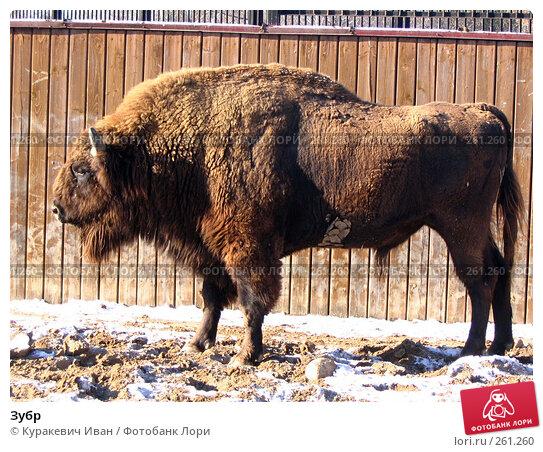 Купить «Зубр», фото № 261260, снято 6 ноября 2006 г. (c) Куракевич Иван / Фотобанк Лори