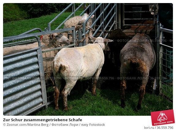 Zur Schur zusammengetriebene Schafe. Стоковое фото, фотограф Zoonar.com/Martina Berg / easy Fotostock / Фотобанк Лори