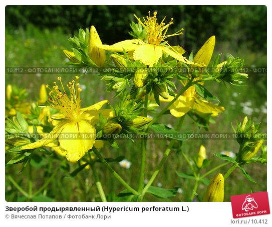Зверобой продырявленный (Hypericum perforatum L.), фото № 10412, снято 27 июня 2004 г. (c) Вячеслав Потапов / Фотобанк Лори